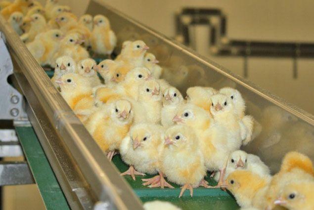 Для Костанайской птицефабрики будут искать инвесторов- Kapital.kz