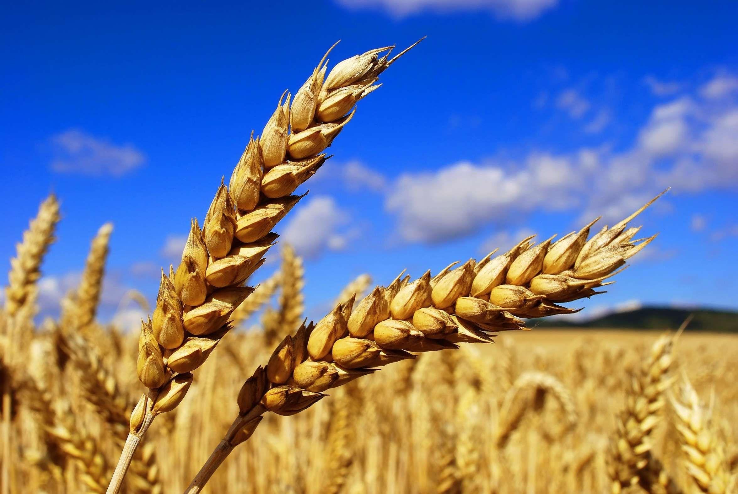 Казахстан планирует экспортировать в Китай 500 тыс тонн пшеницы- Kapital.kz