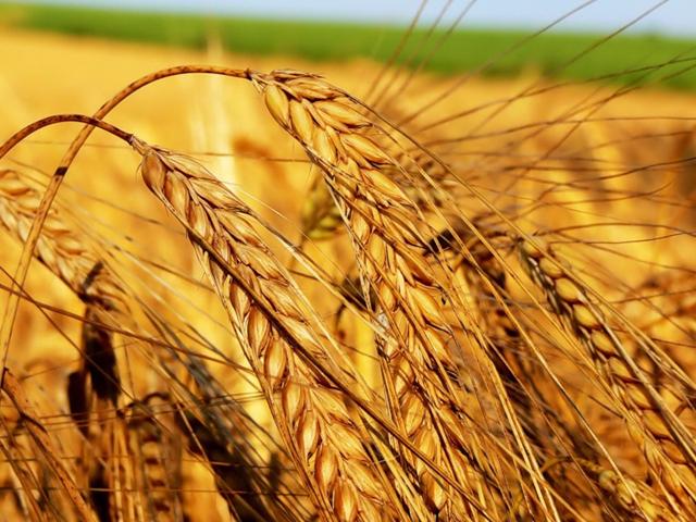 Сев зерноколосовых на юге выполнен на 86%- Kapital.kz