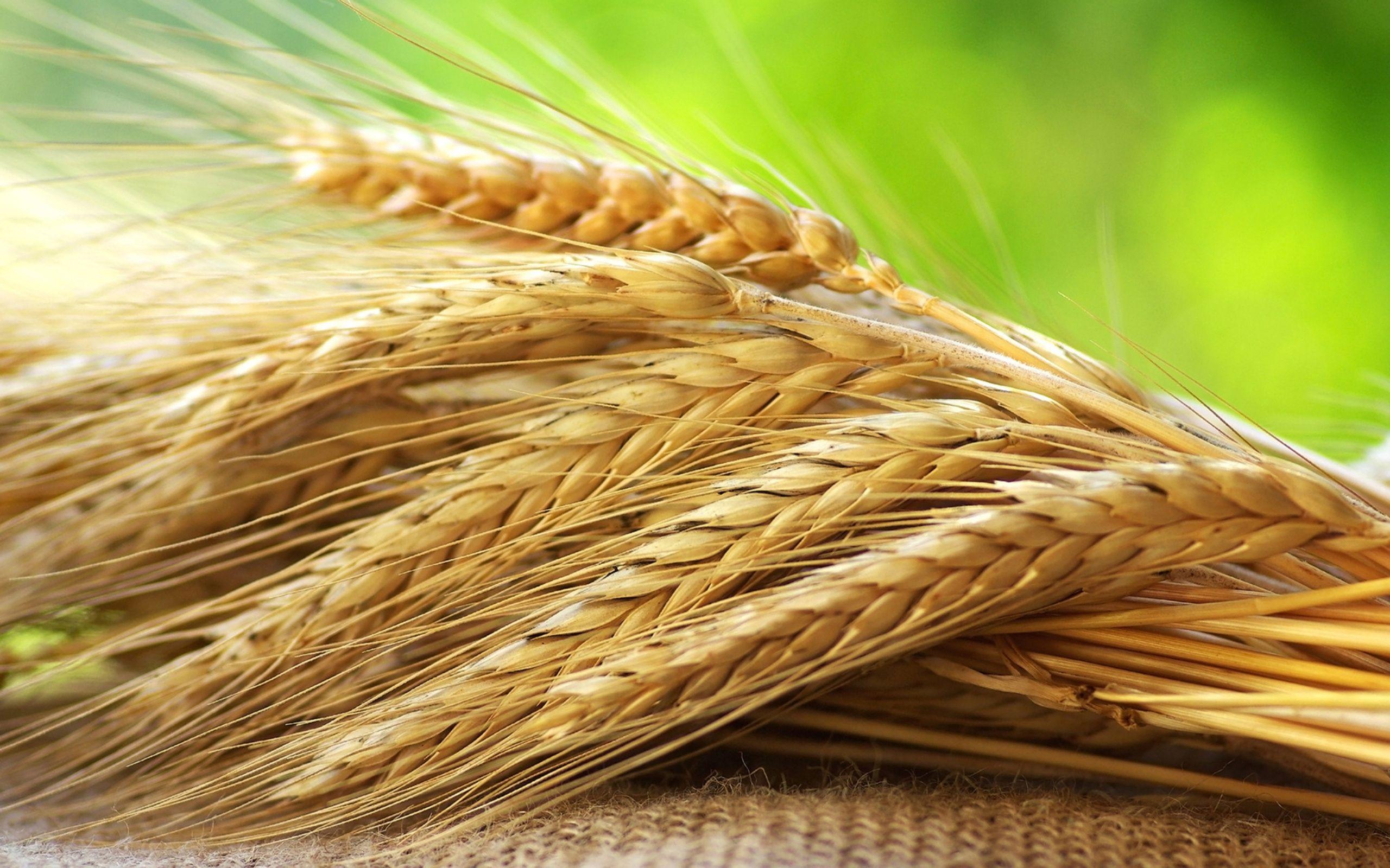 Казахстан планирует экспортировать 9млн тонн зерна- Kapital.kz