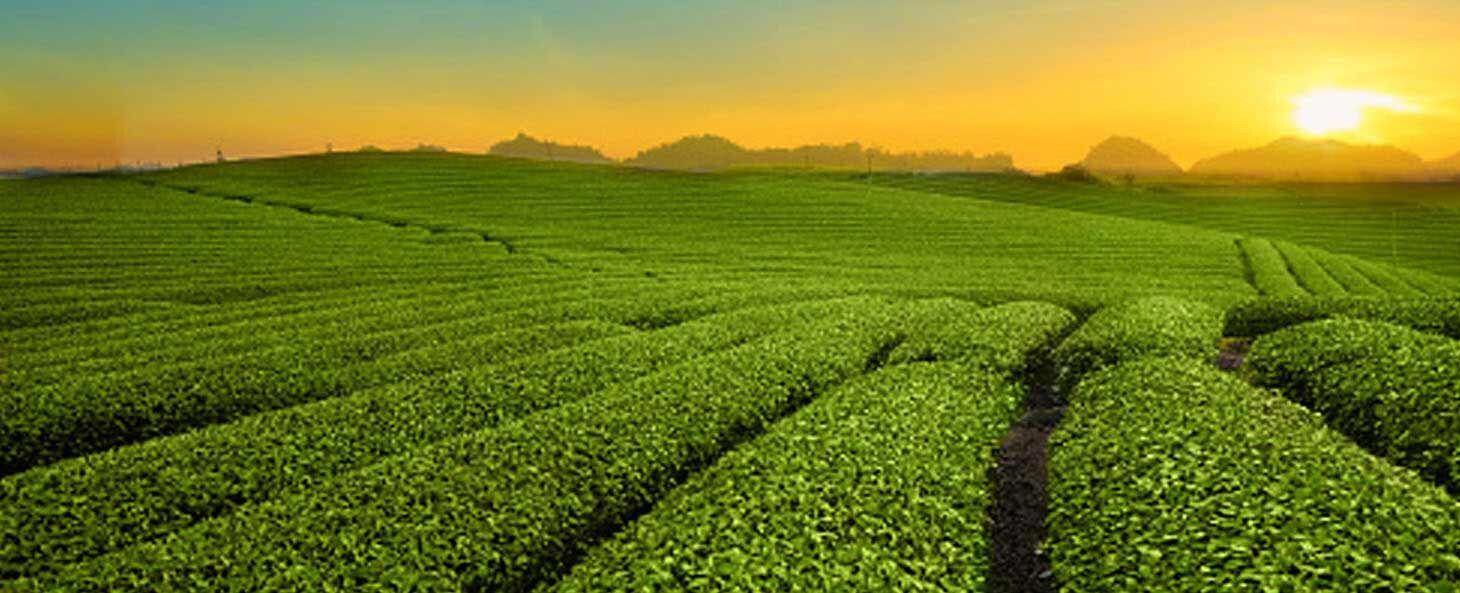 Современные плантации для выращивания чая брендаLipton - Kapital.kz