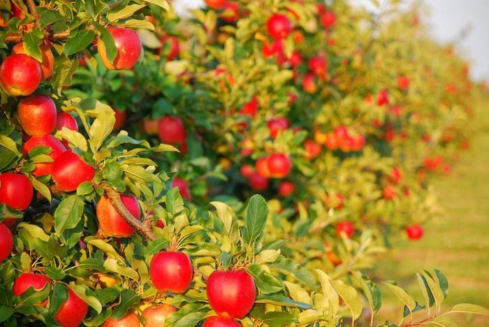 В Алматинской области высадят интенсивный фруктовый сад на 1000 га- Kapital.kz