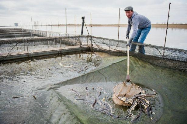 В РК разработают программу развития рыбной отрасли - Kapital.kz
