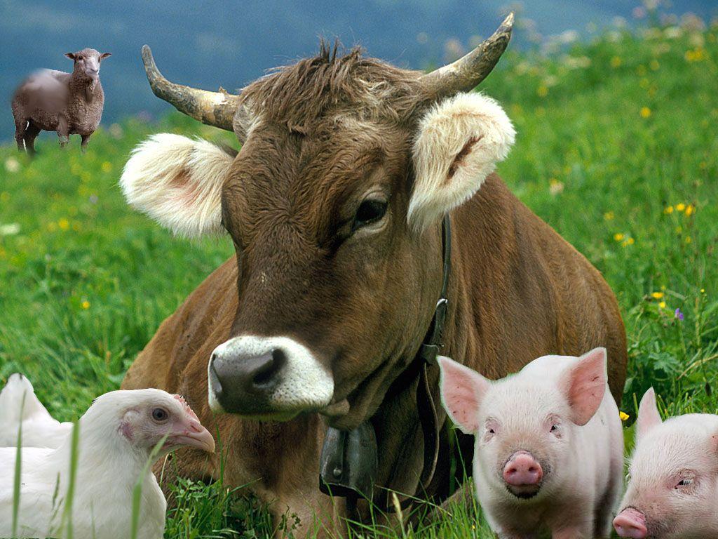 Разведение индейки и переработку говядины наладят в Акмолинской области- Kapital.kz